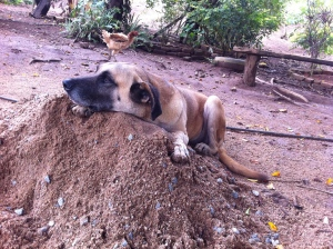 Dragão sunbathing on his favorite pile of fluffy dirt.