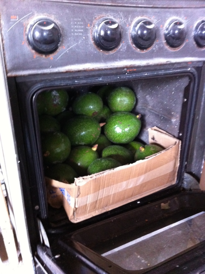 Oven filled with avocados
