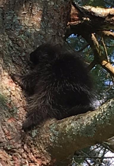 adolescent porcupine